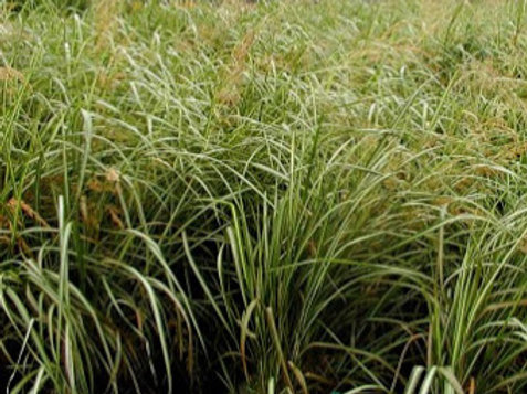 Calamagrostis xa. 'Avalanche' (Feather Reed Grass)