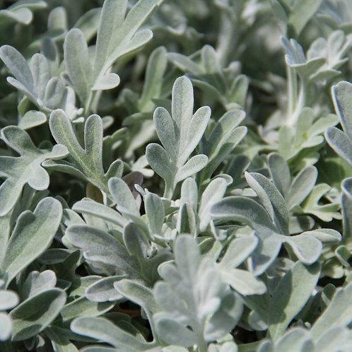 Artemisia s. 'Boughton Silver'