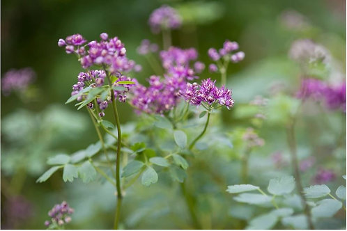 Thalictrum a. 'Thundercloud' (Meadow Rue)
