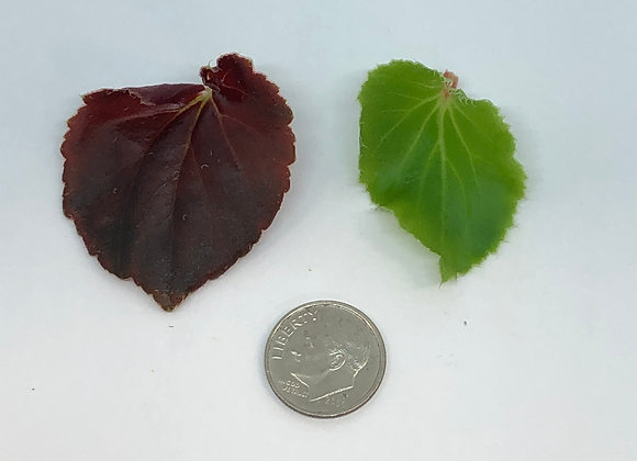 Begonia Leaves - 50ct