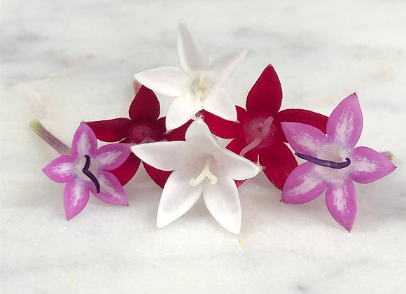 Egyptian Star Flowers - 50ct
