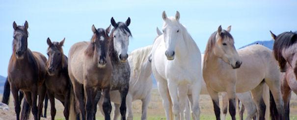 Herd of Mustangs in the wild