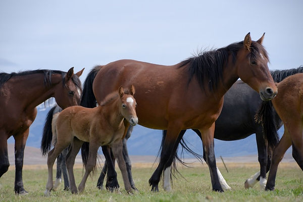 Herd of wild Mustangs in the wild
