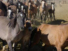 Wild_Horses_4.jpg