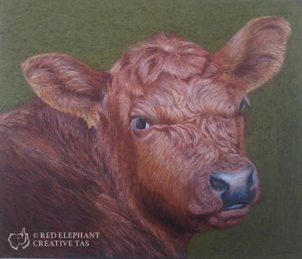 Angus Bull Calf