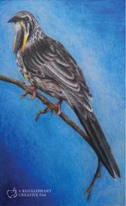 Yellow Wattle Bird