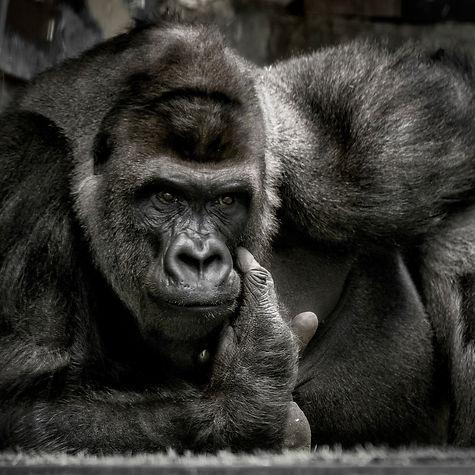 portrait gorille By BONY.JPG