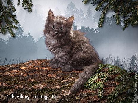 Котенок норвежской лесной кошки 7320s.jp