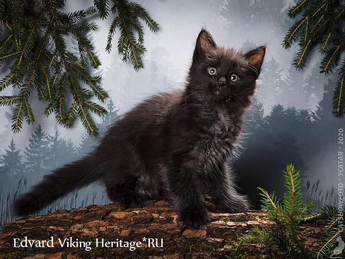 котенок норвежской лесной кошки 7427s.jp