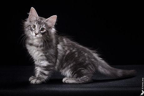 котенок (кот) норвежской лесной кошки