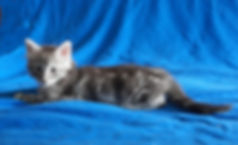 Котенок норвежской лесной кошки из питомника в Москве