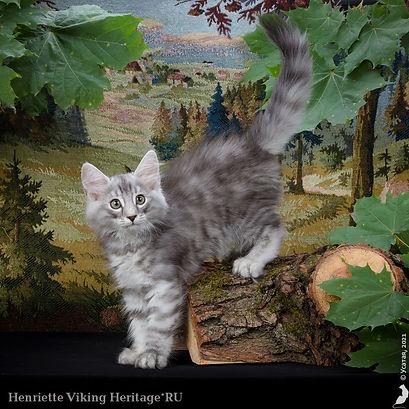 котенок норвежской лесной кошки Henriette.jpg