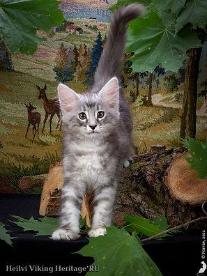 котенок норвежской лесной кошки Heilvi.jpg