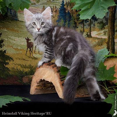 котенок норвежской лесной кошки Heimdall.jpg