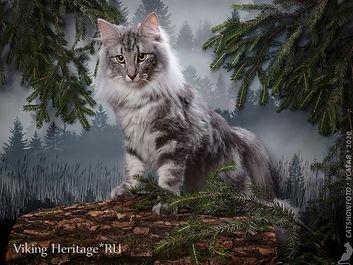 Норвежская лесная кошка Carol Viking Her