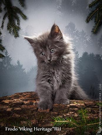 котенок норвежской лесной кошки 7558s.jp