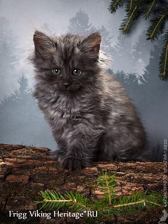 котенок норвежской лесной кошки 7519s.jp