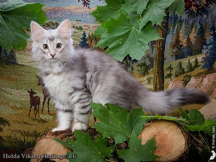 котенок норвежской лесной кошки Holda.jpg