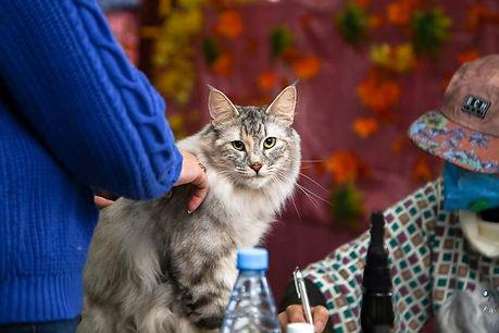 Норвежская лесная кошка на выставке.jpg