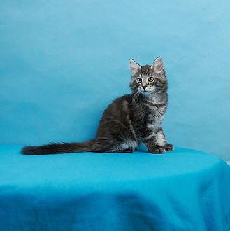 Gawain котенок норвежской лесной кошки.j