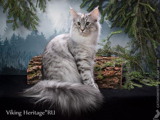 Норвежская лесная кошка 7658s.jpg