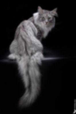 Норвежский лесной кот Gudmund