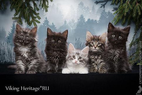 Котята норвежской лесной кошки питоминк Viking Heritage Москва