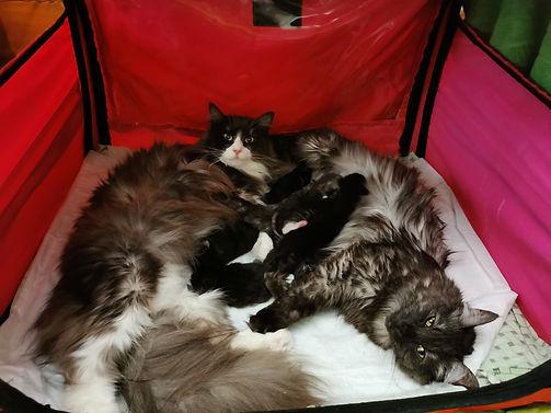 Норвежские лесные кошки с котятами
