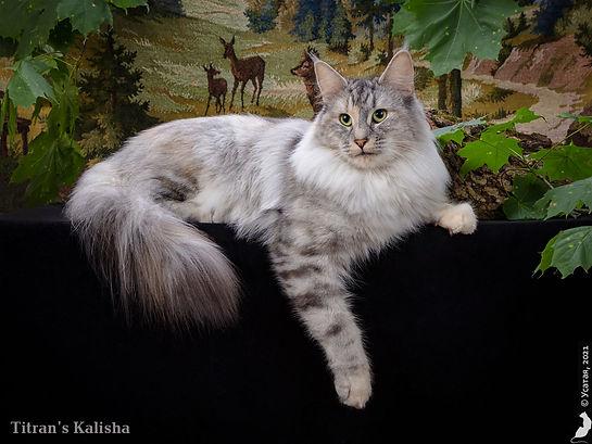 Норвежская лесная кошка.jpg