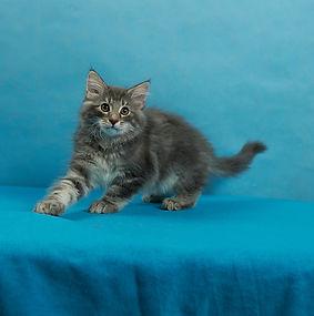 Galahad котенок норвежской лесной кошки.