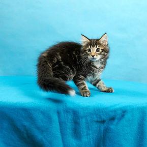 Gefjon котенок норвежской лесной кошки.j