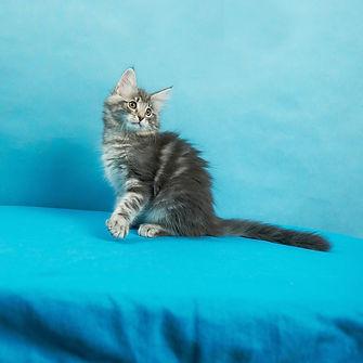Gerda котенок норвежской лесной кошки.jp