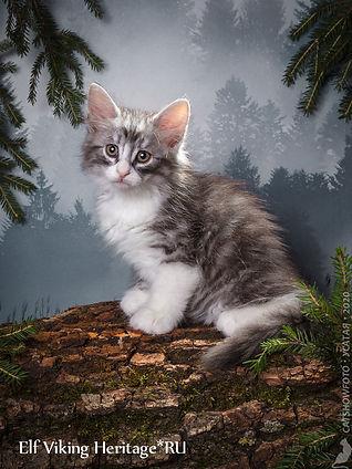 котенок норвежской лесной кошки 7375s.jp