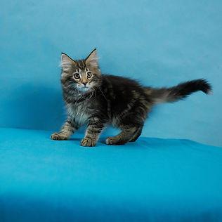 Guinevere котенок норвежской лесной кошк