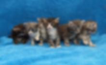 Купить котенка норвежской лесной кошки в Москве