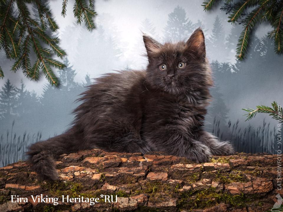 Котенок норвежской лесной кошки из питомника в Москве Viking Heritage