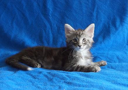 Котенок норвежской лесной кошки из питомника в МосквеDSC08978-.JPG