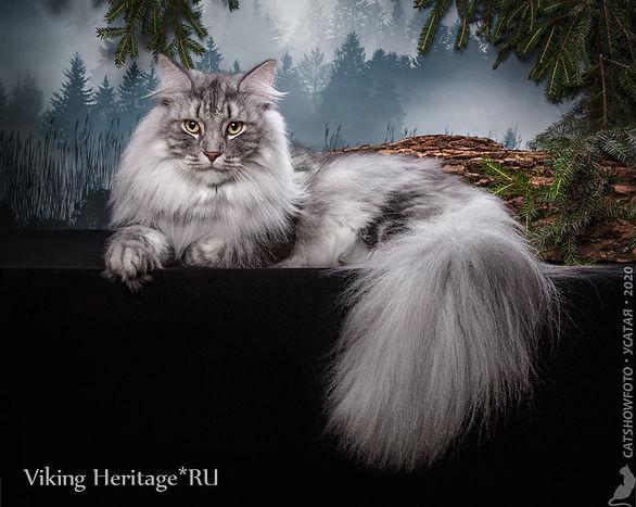Норвежский лесной кот Asger Viking Herit