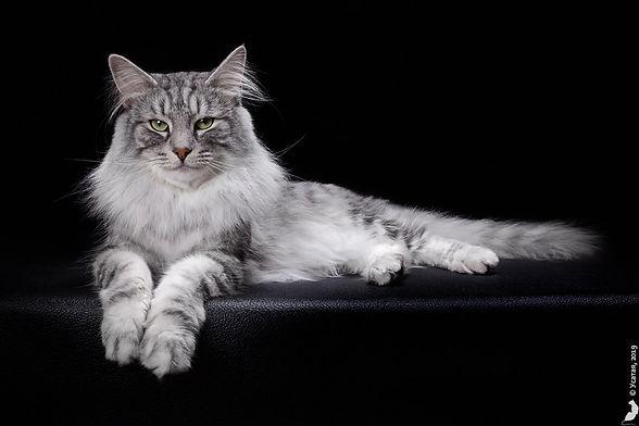 Норвежксий лесной кот из питомника в Москве