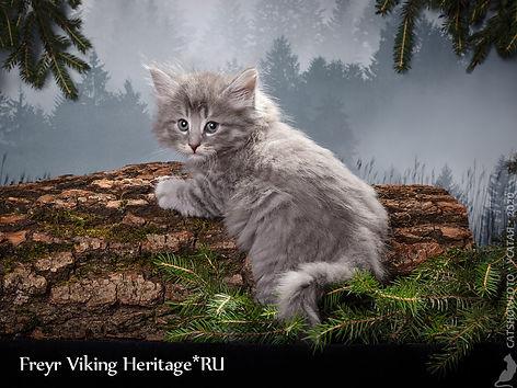 котенок норвежской лесной кошки 7506s.jp