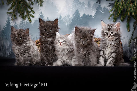 Котята норвежской лесной кошки питоминк Viking Heritage Москв