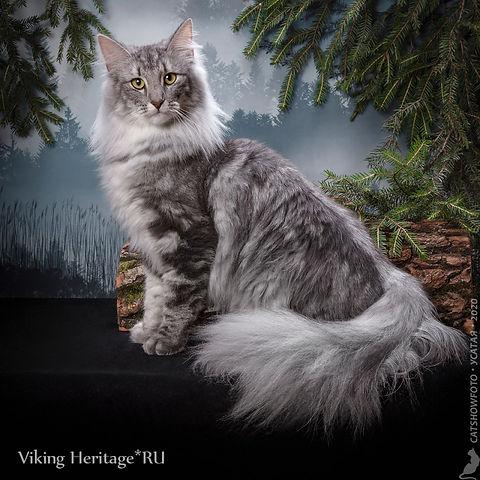 Норвежская лесная кошка 7634s.jpg