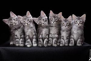 котята норвежской лесной кошки питомник