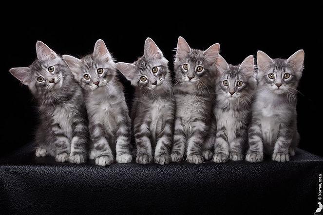 норвежские лесные котята из питомника в Москве