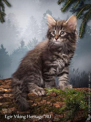 Котенок норвежской лесной кошки 7303s.jp