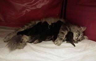 норвежская лесная кошка с котятами.JPG