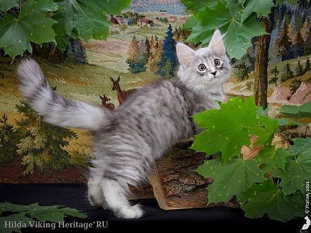 котенок норвежской лесной кошки Hilda.jpg