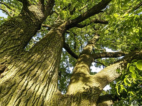 Old oak-tree.jpg