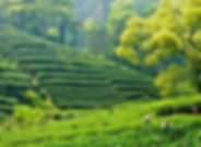 Tea plantation china tours
