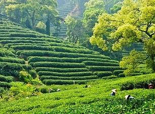 Tea plantation china tours